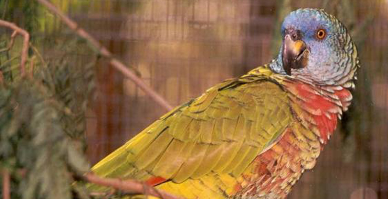 Amazona Versicolor, National Bird of Saint Lucia